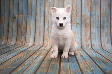 Huskimo on blue wooden background