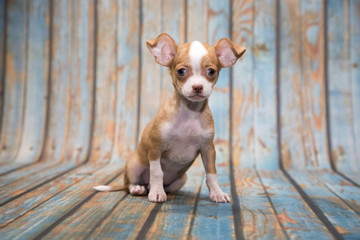 Chihuahua on blue wooden background