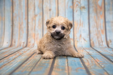 Yorkie chon on blue wooden background