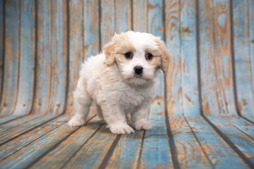 Cavapoo on blue wooden background
