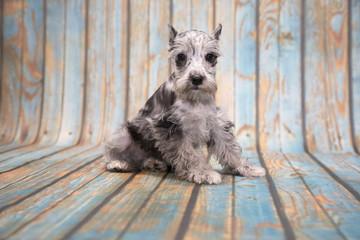 Miniature Schnauzer on blue wooden background