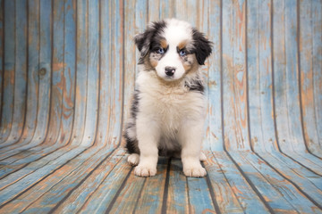 Australian Shepherd on blue wooden background