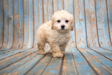 Poodle on blue wooden background