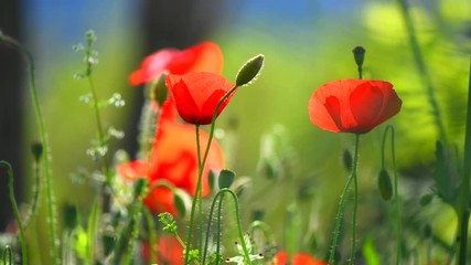 Fotoväggar - Poppy flowers nature background. Blooming poppies. 4K UHD video 3840X2160