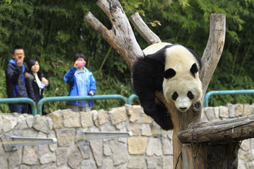 Visitors take pictures of a giant panda playing at Beijing Zoo