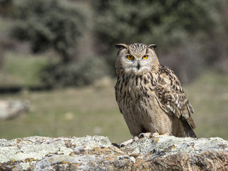 Eagle owl (Bubo bubo) standing on a rock