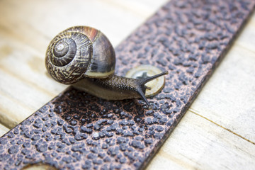 Garden snail on metal and wooden background