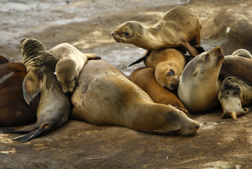A seal pup climbs on top of a pile of sleeping mothers and pups looking for place to sleep along rocky shoreline in La Jolla, California