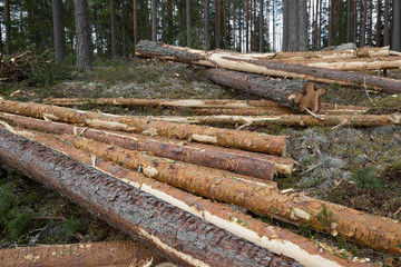 Chopped down pine trees in coniferous forest