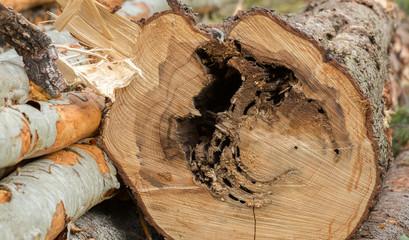 Carpenter ants nest causing damage on fir wood