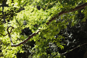 branch of plane tree