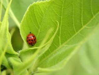 Ladybug on sunflower leaf