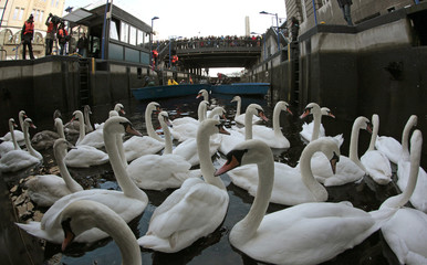 Swans swim in a small lock after council workers rounded them up from Hamburg's inner city lake Alster