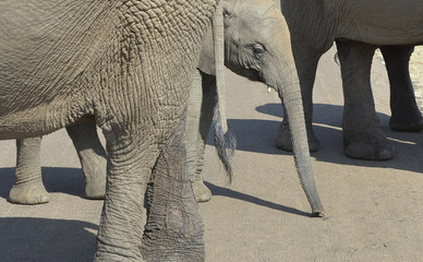 A young elephant walks with adult elephants on a road near Pretoria, in South Africa
