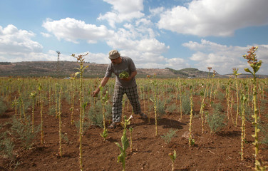 Palestinian farmer Emad Amarneh harvests tobacco in his field to make local cigarettes in the town of Ya'bad near the West Bank city of Jenin