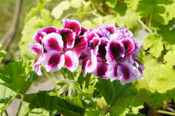 Pelargonium royal red flowers with green background