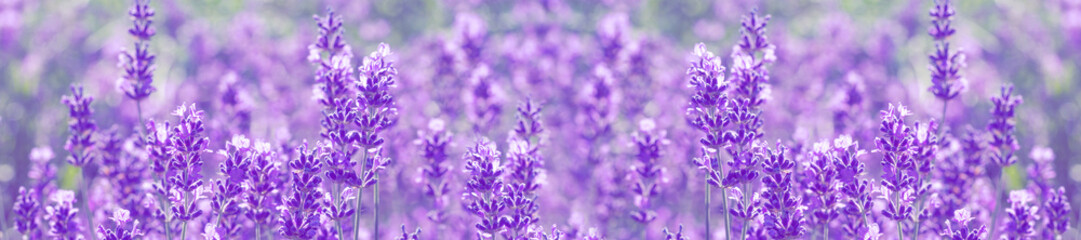 Photo sur Aluminium Lavande field lavender flowers