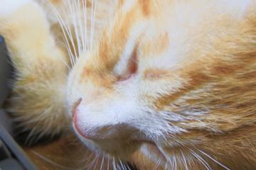 close up cat nose, kitten orange relax sleeping