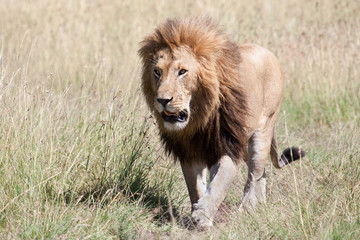 Leone maschio nella savana