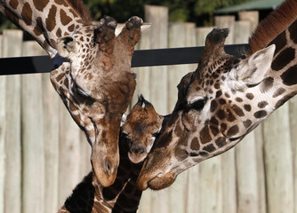 Six-day-old newly born giraffe calf is seen next to its parents at their enclosure in Buenos Aires' zoo