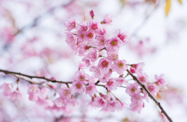 Cherry blossom in Thailand with vintage color