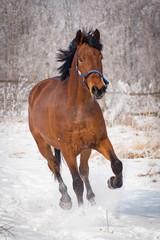 Brown horse running through a snowy pasture