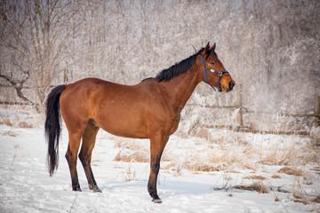 Horse at the winter walk