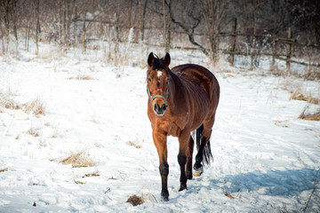 Bay horse take a walk on the snow