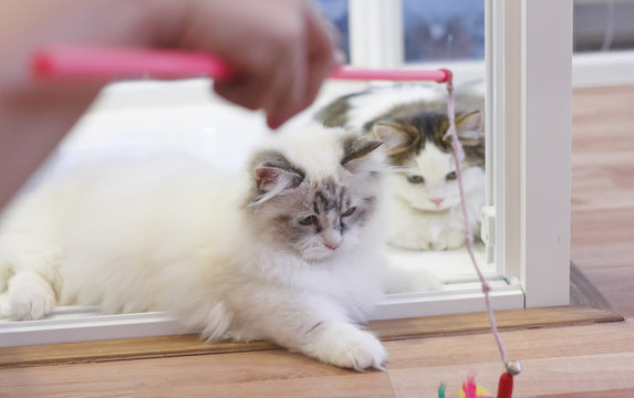 Cute Persian Munchkin cat, in white and grey color, playing a cat toy.