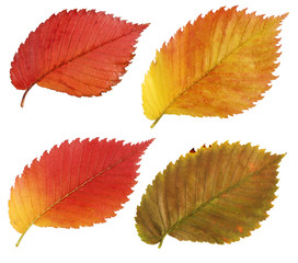 Set of red and yellow leaves of the elm. Herbarium.