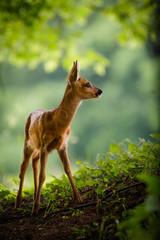 Junges Reh steht auf einer Waldlichtung