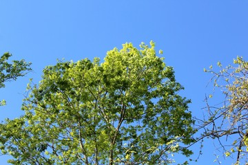 The green spring leaves on the top of the tree with the blue sky.