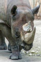 Rhino rhinoceros horn walking grey thick skin