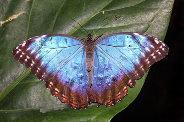 Blue Morpho (Morpho peleides) tropical butterfly on a leaf