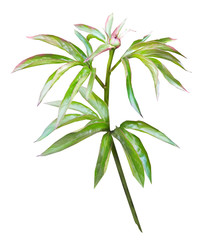 Tropical watercolor illustration. isolated on white background. Leaf and buds. Exotic composition