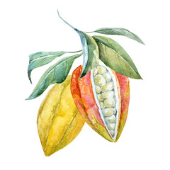 Watercolor cacao fruits