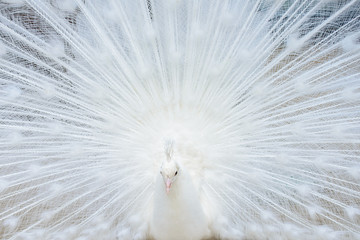White peacock with tail spread
