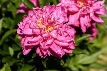 Pfingstrose in Pink auf dem Feld im Sommer
