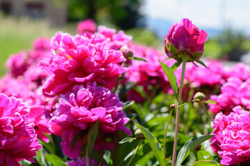 Pfingstrose in Pink im beet im Sommer