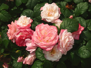 バラ、桜霞(サクラガスミ)/中輪で密集して開花。淡いピンクが桜の花を思わせる。