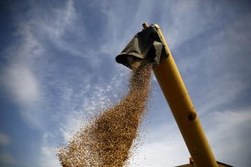 A combine harvester unloads grain into trailer at a field in Slupca near Poznan