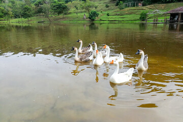 Flock of domestic geese swimming in lake