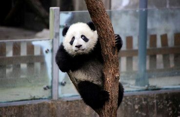 A baby giant panda plays on a tree at Chengdu Research Base of Giant Panda Breeding in Chengdu