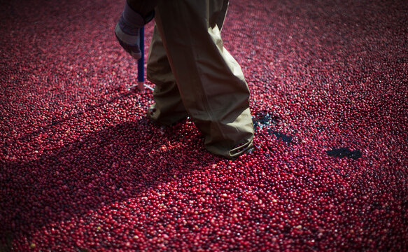 An employee of the Ocean Spray company walks through a pool of some 2000 pounds of floating cranberries while wearing waders at a promotional cranberry bog display set up at New York's Rockefeller Center