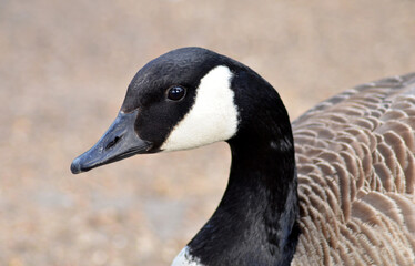 canadian goose walking in the park