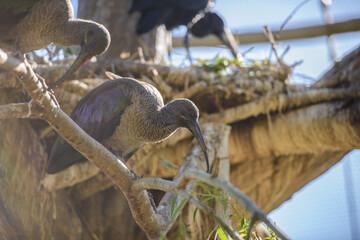 Black ibis sitting on branch