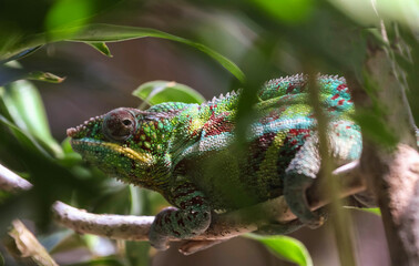 male panther chameleon is hanging on to a branch.