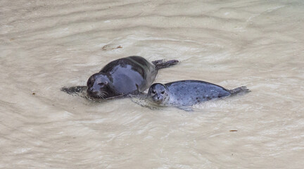 Harbor seal female and pup at Point Lobos State Reserve, California coast