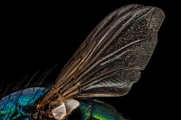 Wings of a common green bottle fly