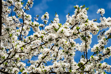 Image of lush early spring foliage - vibrant green spring fresh leaves of blooming apple tree in spring